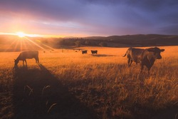 Australian black lowline cows (Bos primigenius) against a colourful, dramatic sunset or sunrise sky in rural countryside landscape near Rydal in the Blue Mountains National Park in NSW, Australia.