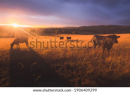 Australian black lowline cows (Bos primigenius) against a colourful, dramatic sunset or sunrise sky in rural countryside landscape near Rydal in the Blue Mountains National Park in NSW, Australia. Stockfoto ©