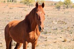 Australian Brumby wild chestnut horse in South Australian outback Flinders Ranges area