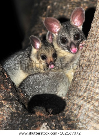 Australian brush tailed possum with baby in tree, Townsville, North Queensland, Australia. cute mammal mother with infant son daughter embracing affection