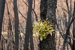 Australian bushfires aftermath: eucalyptus trees recovering after severe fire damage. Eucalyptus can survive and re-sprout from buds under their bark or from a lignotuber at the base of the tree.