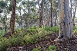australian bushland in morning light
