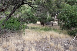 australian bushland scene with grasses and eucalypts