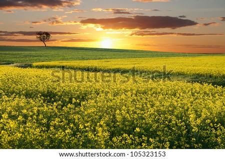 Australian canola field with the sun setting - stock photo