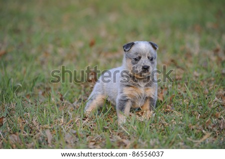 Mini Heeler Puppies