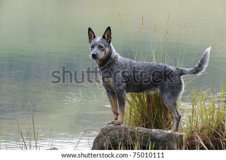 australian cattle dog (aka blue heeler) puppy poses on a rock at the ...
