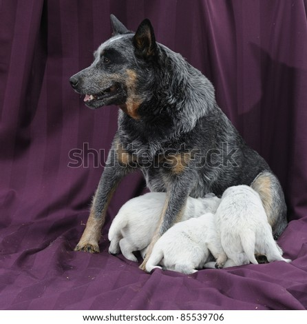 australian cattle dog bitch with puppies