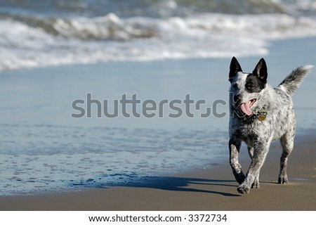 Australian cattle dog is running by San Francisco Bay.