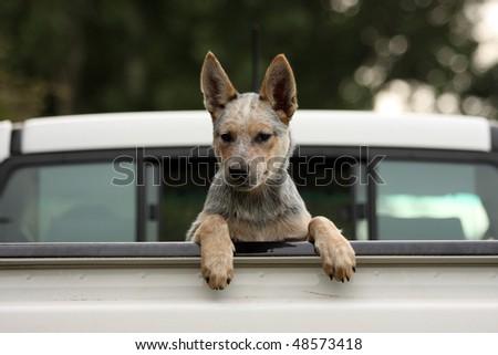 Australian Cattle Dog leaning on vehicle tailgate