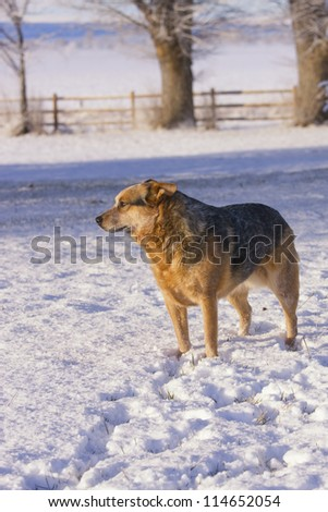 Australian Cattle Dog or red Heeler in snow on farm or ranch in the country