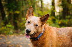 Australian Cattle Dog outdoor portrait in forest