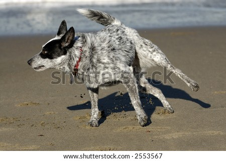 Australian cattle dog plays by the San Francisco Bay, California, kicking sand into air.