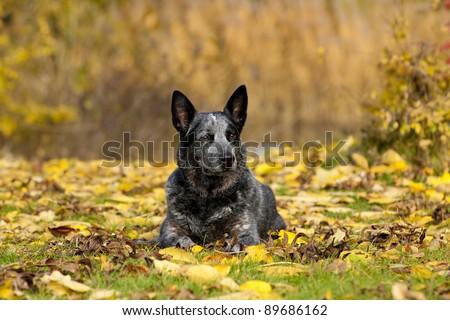 australian cattle dog portrait