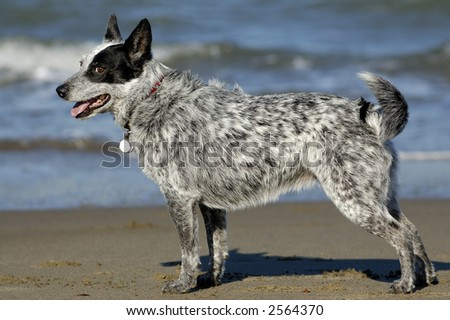 Australian cattle dog posing by San Francisco Bay, California.