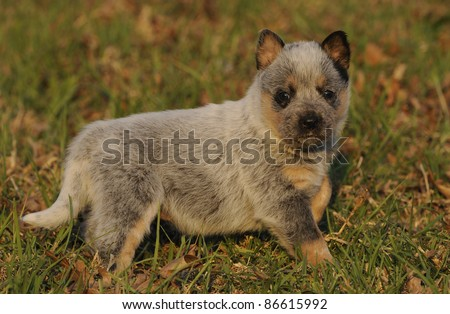 australian cattle dog puppy aged four weeks