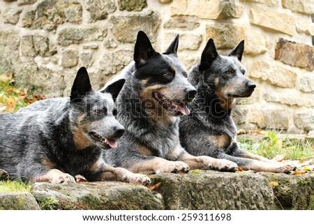 australian cattle dog puppy trick