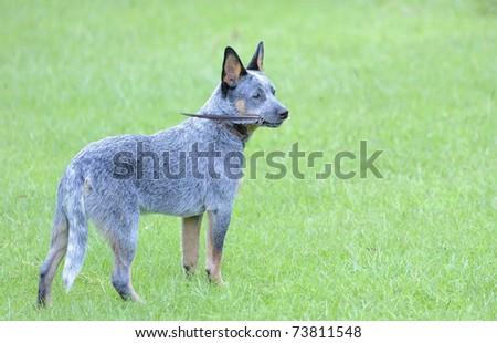 Australian cattle dog  (Troutnip Pandablue of Goschen. aged 5 months).