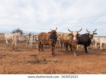 Australian cattle with horns on the move in the outback
