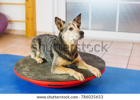 Australian Cattledog lies on a wobble board in an animal physiotherapy office