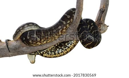 Australian Centralian carpet python coiled around a tree branch. Deep etched on a white background. Morelia bredli Stock fotó ©