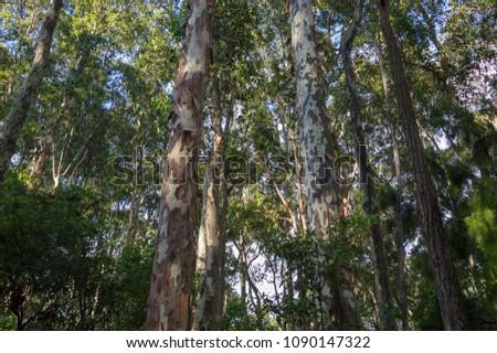 Australian coastal bushland. Tall Eucalyptus trees reaching for the blue sky with lush green foliage.