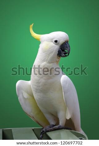 australian cockatoo closeup portrait over green