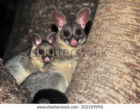 Australian common brush tailed possum with baby, Townsville, North Queensland, Australia