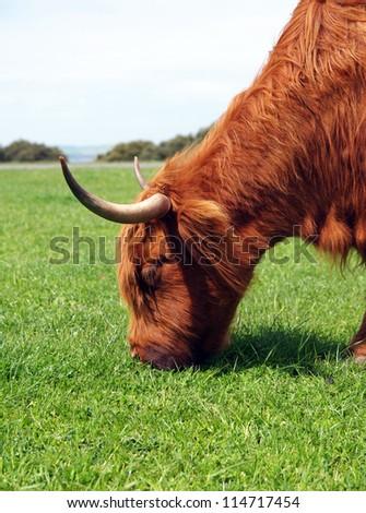 australian cow portrait in nature