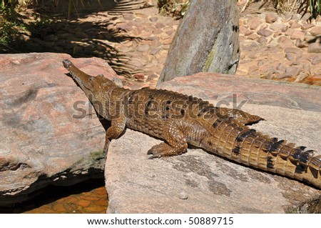 Australian Crocodile on the rock