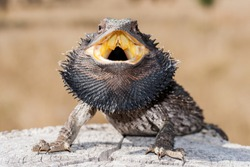 Australian Eastern Bearded Dragon Lizard