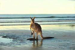 australian eastern grey kangaroo on beach, cape hillsborough, mackay , north queensland. exotic mammal kangaroo similar wallaby on tropical sandy foreshore with copyspace