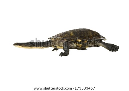 Shutterstock Australian eastern long-necked turtle (Chelodina longicollis), isolated on a white background. Clipping path included.