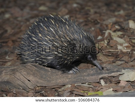 australian echidna or spiny anteater fossicking on forest floor, queensland, australia, like hedgehog