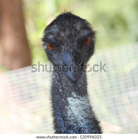 Australian emu close up