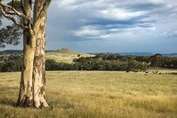 Australian eucalyptus tree in landscape scene