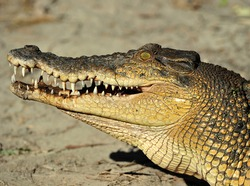 australian eustarine or saltwater crocodile with mouth open showing teeth , cooktown, north queensland, australia