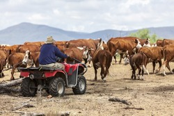 Australian farmer on quad bike mustering cattle