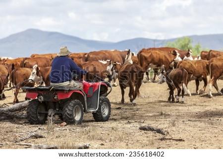 Australian farmer on quad bike mustering cattle