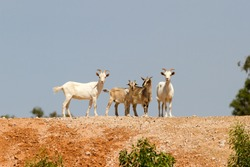 Australian Feral Goats on hill