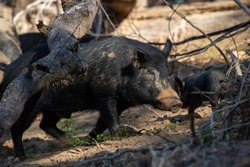 Australian Feral Pig rooting up the side of the river bank looking for food