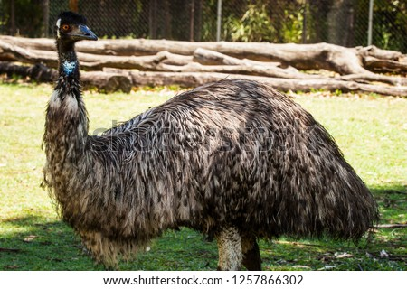 Australian Flightless Native Bird the Emu at Lone Pine Koala Sanctuary, Brisbane, Queensland, Australia. December 2018.