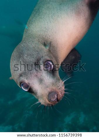 Australian Fur Seal #1156739398