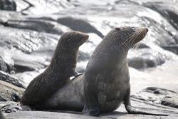 Australian Fur Seal with pup, Kangaroo Island.