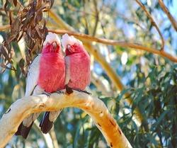 Australian galah parrots- couple for life