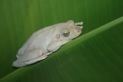 Australian green tree frog, or White's tree frog. Australian Green Tree Frog on leaf