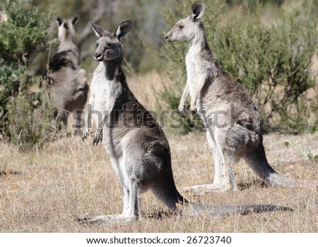 Australian Grey Kangaroo in the dry outback