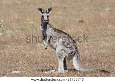 Australian Grey Kangaroo in the dry outback