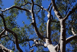 Australian Gum Trees or Eucalyptus Trees with deep sky background.