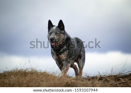 Australian healer gray and red and white speckled large dog standing on a hill