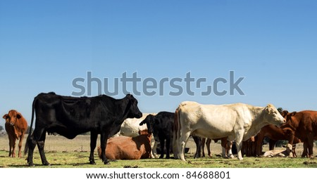 australian herd of beef cattle - black white and brown cows with blue sky copy space